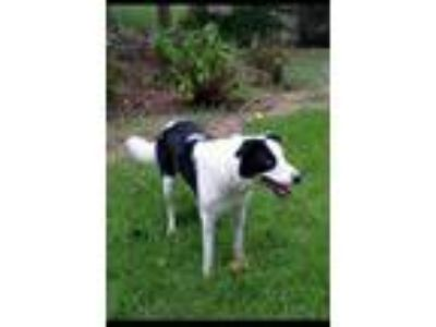 Adopt Jaques a Border Collie