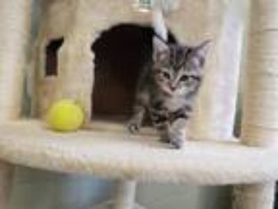 Adopt Plum a Gray, Blue or Silver Tabby Domestic Shorthair / Mixed cat in