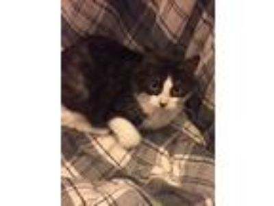 Adopt Q a Black & White or Tuxedo Calico cat in Rochester, NY (25307358)