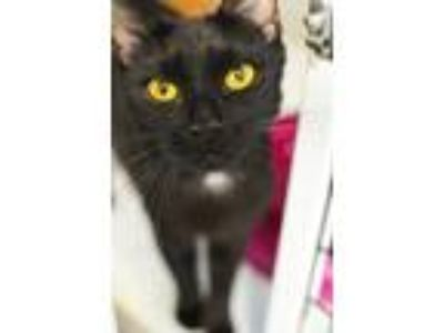 Adopt Lilith a Domestic Shorthair / Mixed (short coat) cat in