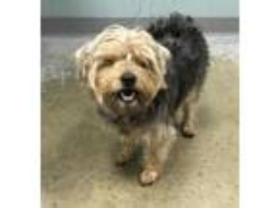 Adopt Gizmo a Yorkshire Terrier, Mixed Breed