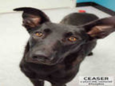 Adopt CAESAR a Black German Shepherd Dog / Great Dane / Mixed dog in Supply
