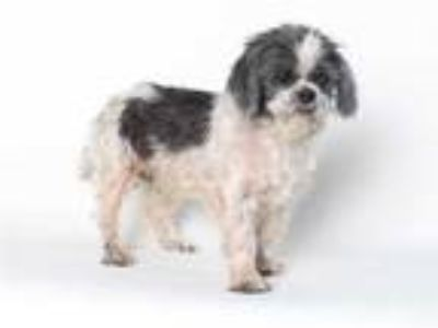 Adopt *DOMINIC a Black - with White Shih Tzu / Mixed dog in Burbank