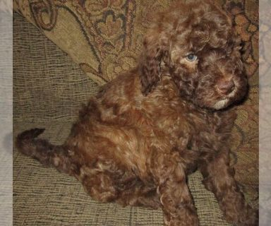 Aussie-Poo PUPPY FOR SALE ADN-130009 - Aussiedoodles Chocolate Female Gorgeous Eyes