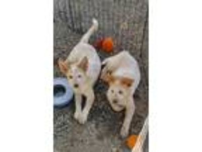 Adopt Big Red & Lil Red a Australian Cattle Dog / Blue Heeler