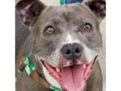 Adopt Blu a Gray/Silver/Salt & Pepper - with White Pit Bull Terrier / Terrier