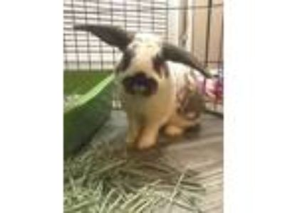 Adopt Oswald a White English Spot / Lop-Eared / Mixed rabbit in DeKalb