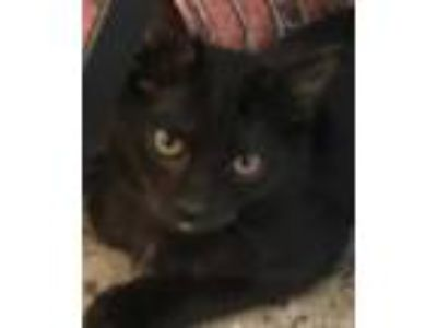 Adopt Kali a All Black Domestic Shorthair / Mixed (short coat) cat in Redwood