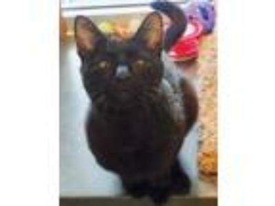 Adopt Whiskey a All Black Domestic Shorthair / Domestic Shorthair / Mixed cat in