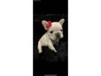 FRENCH BULLDOG FOR SALE NJ CRAIGSLIST - Mal-Shi Puppies For