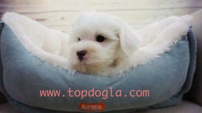 Maltipoo Puppy- Male- Oakley ($1.299)