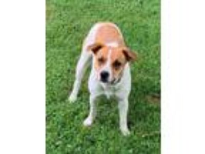 Adopt Pickles a Beagle