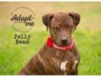 Adopt Jelly Bean a Brindle Boxer / Plott Hound / Mixed dog in Pearland