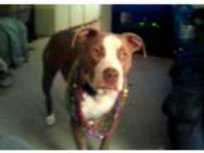 Adopt Dozer a Tan/Yellow/Fawn - with White Pit Bull Terrier / Mixed dog in
