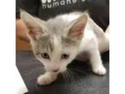 Adopt Edward a Gray or Blue Domestic Shorthair / Domestic Shorthair / Mixed cat