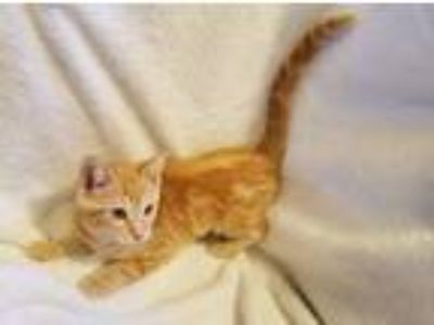 Adopt Olive a Orange or Red Domestic Shorthair cat in Parlier, CA (25932562)