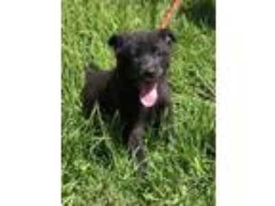 Adopt Georgette a Black German Shepherd Dog / Mixed dog in Chester Springs