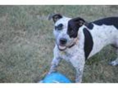Adopt Spec a Black Pointer / Mixed dog in Justin, TX (21591410)