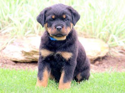 Rottweiler PUPPY FOR SALE ADN-79227 - Rottweiler Puppy for Sale