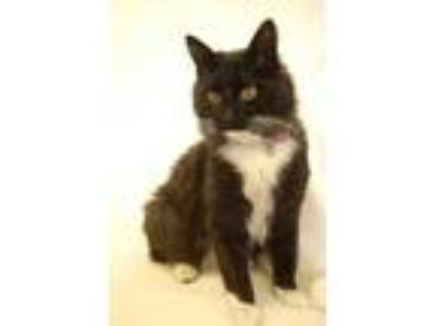 Adopt Caliope a All Black Domestic Mediumhair / Domestic Shorthair / Mixed cat