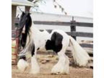 152 Hand Hairy Homozygous TobianoBlack Gypsy Stallion