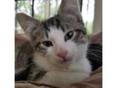 Adopt Rocket a Domestic Short Hair, Tabby