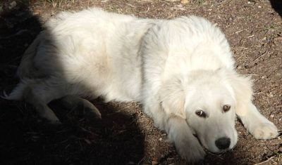 AnatolianPyrenees Puppies