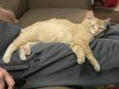 Adopt Rosie a Orange or Red American Shorthair / Mixed cat in Lincoln