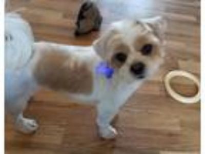 Adopt Chickadee a White - with Tan, Yellow or Fawn Shih Tzu / Mixed dog in El