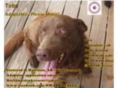 Adopt Toby a Brown/Chocolate Labrador Retriever / Mixed dog in Harrison
