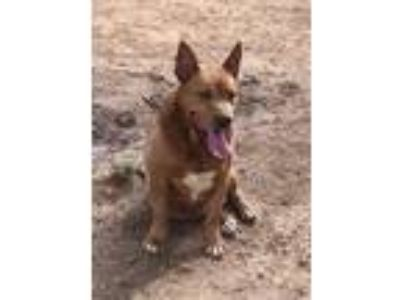 Adopt Hornet (looking for foster in Buffalo) a Chow Chow, German Shepherd Dog