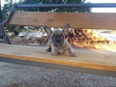 French Bulldog PUPPY FOR SALE ADN-99816 - AKC French Bulldog Girl