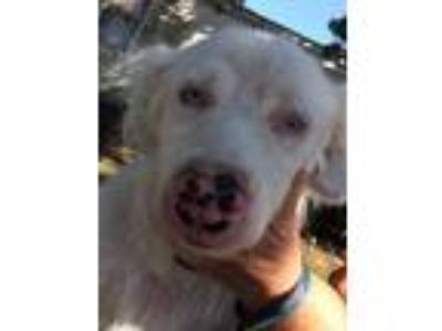 Adopt Polly a White - with Gray or Silver Australian Shepherd / Mixed dog in