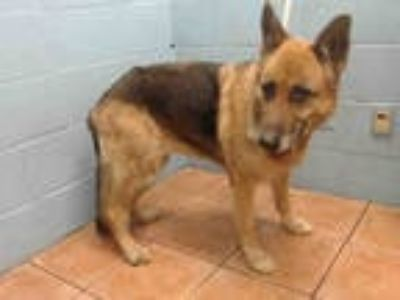 Adopt CHEYENNE a Brown/Chocolate - with Black German Shepherd Dog / Mixed dog in