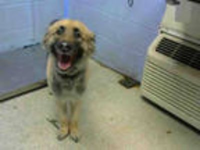 Adopt GUADALUPE a Tan/Yellow/Fawn - with Black German Shepherd Dog / Mixed dog