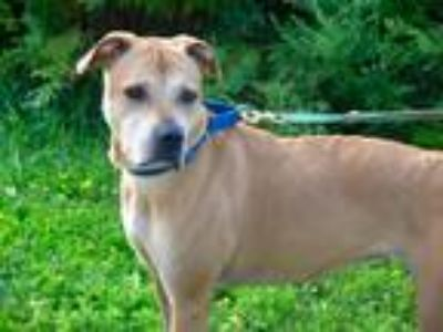 Adopt Montana a Tan/Yellow/Fawn Labrador Retriever / Mixed dog in Utica