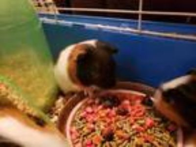 Adopt Swiss a Black Guinea Pig / Guinea Pig / Mixed small animal in Georgetown