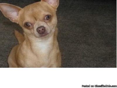 Lilac Chihuahua Puppies