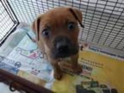 Adopt SYDNEY a Brown/Chocolate - with Tan Boxer / Mixed dog in Tampa
