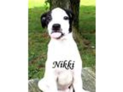 Adopt Nikki a Boxer, Border Collie