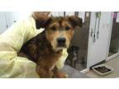 Adopt Caramel a Red/Golden/Orange/Chestnut Shepherd (Unknown Type) / Mixed dog