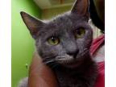 Adopt Olivia a Domestic Mediumhair / Mixed cat in Little Rock, AR (25582313)