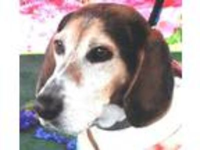 Adopt Claire a Tricolor (Tan/Brown & Black & White) Treeing Walker Coonhound /
