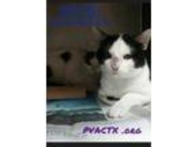 Adopt Matthew a White Domestic Shorthair / Domestic Shorthair / Mixed cat in