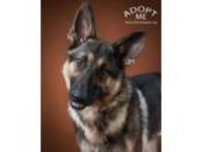 Adopt Canyon a German Shepherd Dog