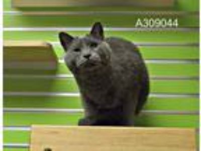 Adopt LUCAS a Gray or Blue Domestic Mediumhair / Mixed (medium coat) cat in St.