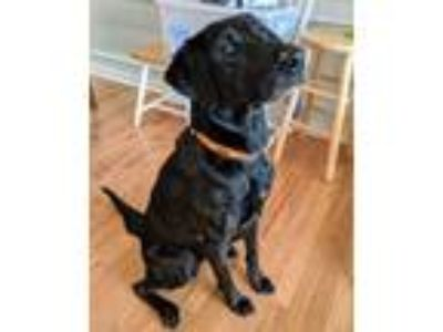 Adopt Charlie a Black - with Brown, Red, Golden, Orange or Chestnut Labrador