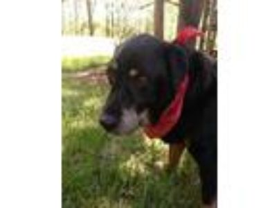 Adopt Rock a Rottweiler / Labrador Retriever / Mixed dog in Raleigh