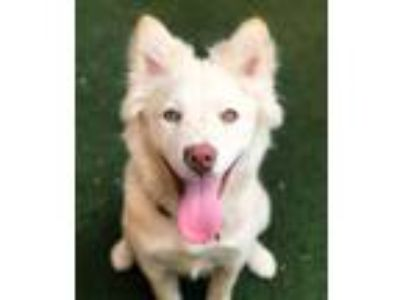 Adopt Snowflake a White Siberian Husky / Mixed dog in Guthrie, OK (25341854)