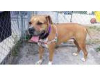 Adopt Buster a Brown/Chocolate Boxer / Mixed dog in Lakeland, FL (23550975)